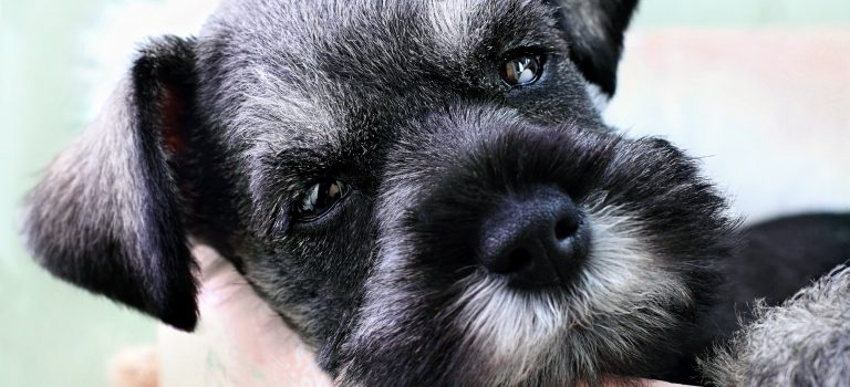 Hypoallergenic AKC Breeds of Dogs